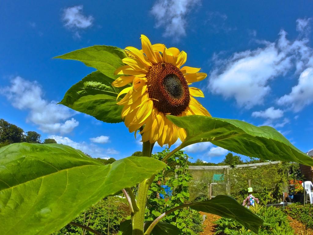 Stunning Sunflower