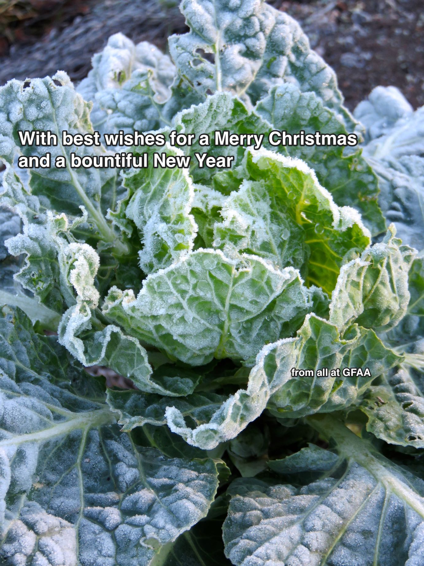 cabbage2